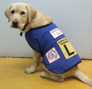 Tasmania Police Charity Trust image of Dexter the yellow Labrador. Dexter is a new guide dog recruit with Royal Guide Dogs Tasmania and is wearing a blue guide dog jacker with an 'L' plate and a Charity Trust logo.